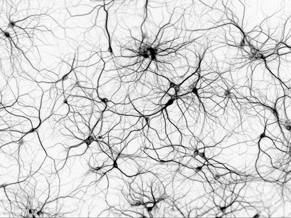 Las neuronas conforman un sistema emergente, reciben estímulos y conducen impulsos nerviosos; una analogía del funcionamiento de un súper-organismo. Fuente: medium.com